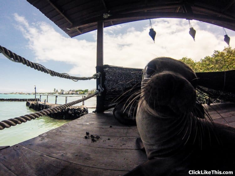 Galapagos-seal-checking-out-the-gopro