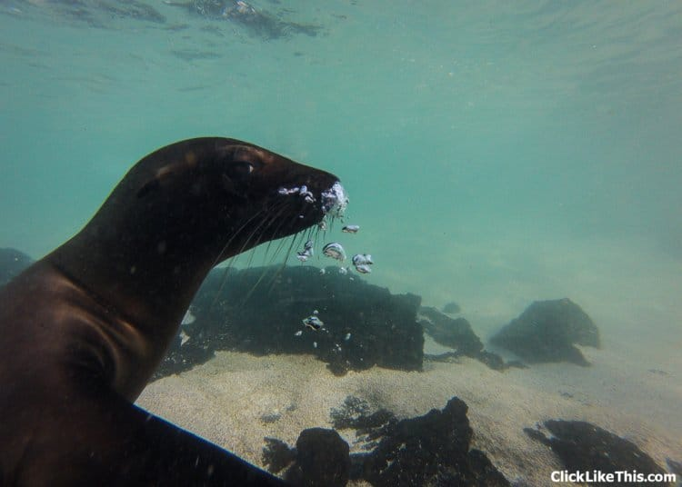 Galapagos-seal-nose-bubbles