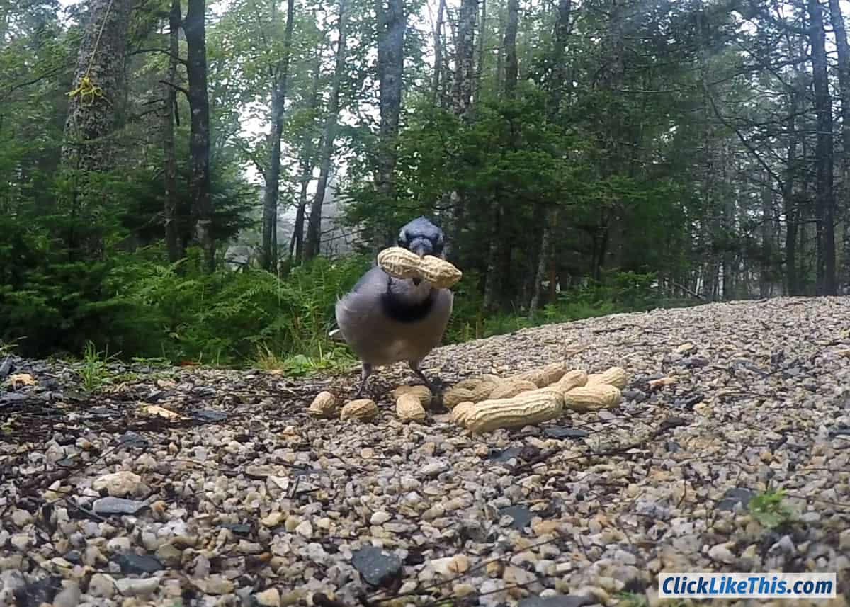 GoPro-photo-of-blue-jay